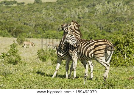 two zebras playing and showing affection in the hot african sun