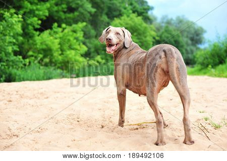 Purebred weimaraner playing with wooden stick. View from backside. Multicolored summertime outdoors image.