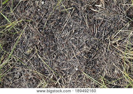 Ordinary Ants On An Anthill