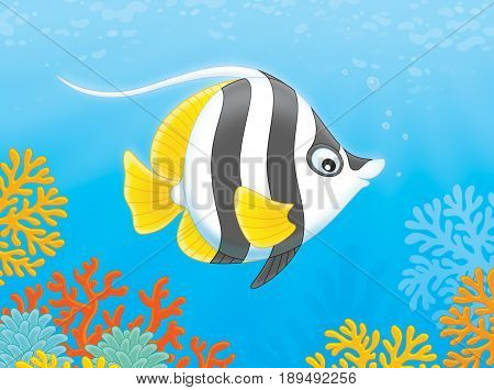 striped  butterfly fish swimming over corals in a tropical sea