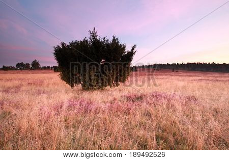 juniper tree on meadow with heather flowers