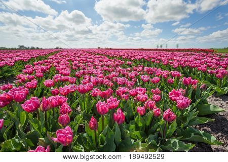 field with purple tulips on sunny day Holland