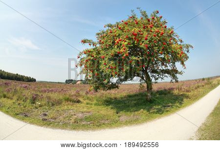rowan tree with berries by road on sunny day