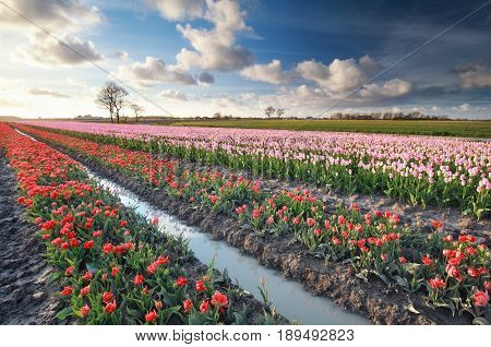 sunlight over colorful tulip field in Holland