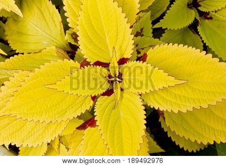 Tropical yellow leaf nature background on the forest floor
