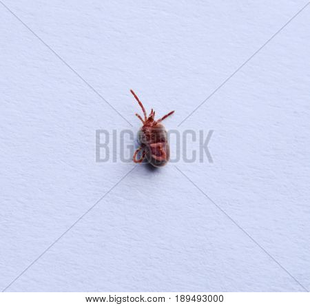 Red Velvet Mite On White Sheet Of Paper. Macro Shooting Of Velvet Plaster Mite.