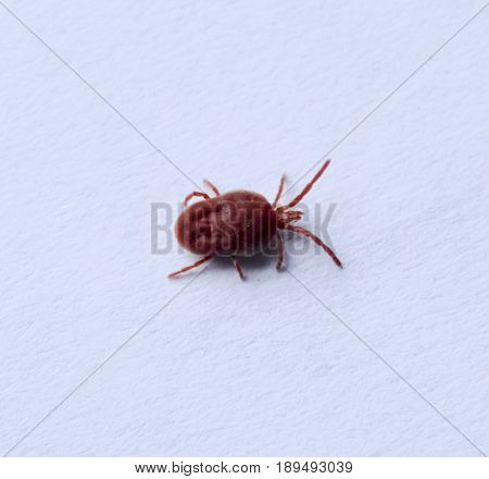 Red Velvet Mite On White Sheet Of Paper. Macro Shooting Of Velvet Plaster Mite.