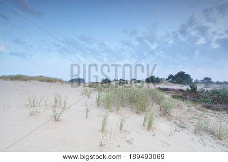 grass on dand dune in summer morning