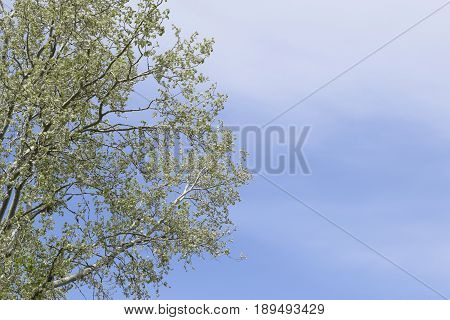 Silver Poplar Against The Sky. Recently Bloomed Buds And Young Leaves On The Branches, Spring