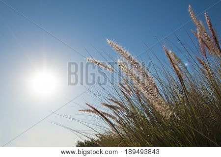 nature background of Wild grasses in the early morning sun