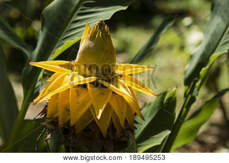 Ensete lasiocarpum Chinese dwarf golden lotus plant close relative of bananas