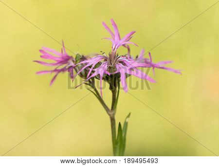 Ragged Robin (Lychnis flos-cuculi) plant in flower. Pink flowers on plant in the family Caryophyllaceae with strange incomplete petals