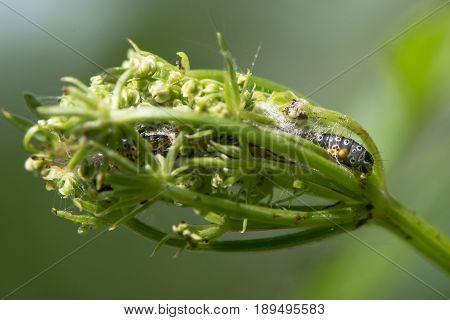 Depressaria daucella moth caterpillar in larval web. Larva feeding on flowers of hemlock water-dropwort (Oenanthe crocata) in protective silk structure