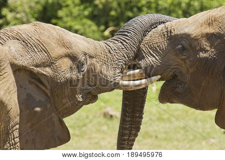 Two elephants standing and playing with their trunks in the midday sun