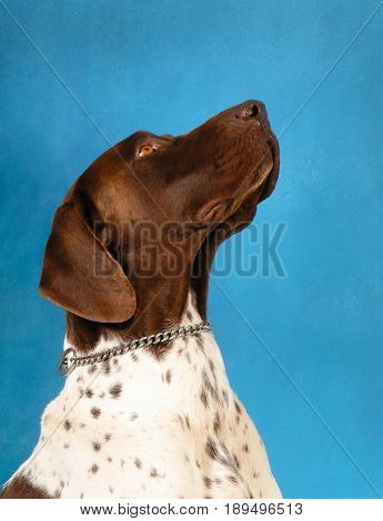 German shorthaired pointer dog, in portrait looking upward in profile, Isolated on a blue background