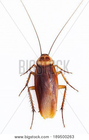 One dead cockroach isolate on white background