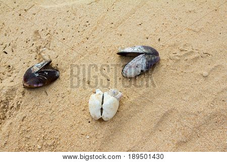 Mussels shell and scallop shell on the sand use for background