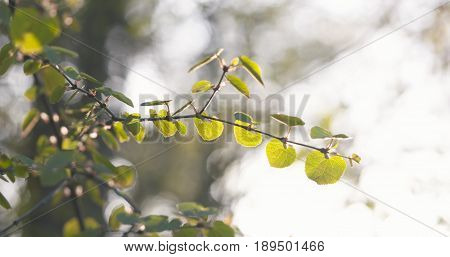 young aspen leaves in spring day, wide photo