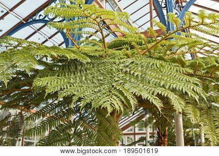 Tropical tree fern leaf with shallow focus in a green house