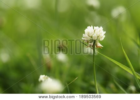 white clover flower in summer day on meadow, closeup photo