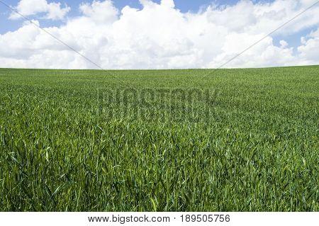 Ripening wheat, steppe wheat fields, wheat spike, green wheat field landscape pictures