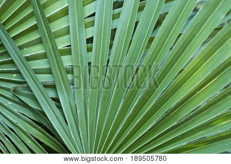 green overlapping palm leaves to be used as a nature background