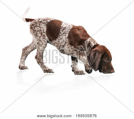 A German Pointer puppy, smelling the floor, isolated on a white background in studio.