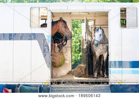 Three horses standing in trailer. View front view. Summertime outdoors horizontal image.