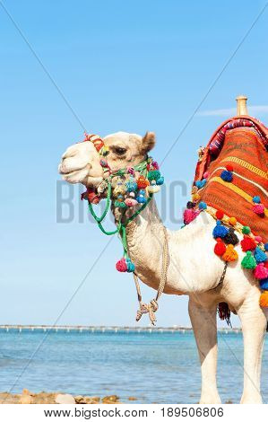 White proud camel standing on the Egyptian beach. Camelus dromedarius. Summertime outdoors.