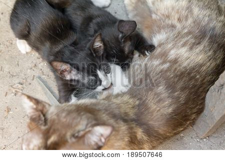 two kitty drink mink from breast mom cat