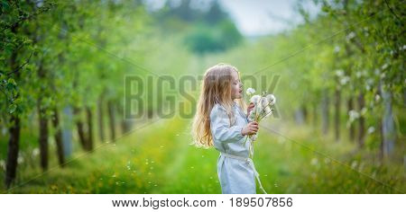 little girl blows off fluff from a bouquet of dandelions standing in the middle of an apple orchard