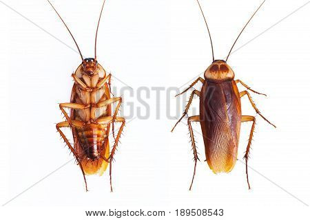 one dead cockroaches isolate on white background