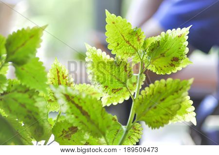 Painted nettle or Flame nettle plant , Painted nettle