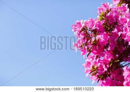 Branches of a fluffy pink blossom tree against the backdrop of a clear cloudless blue sky