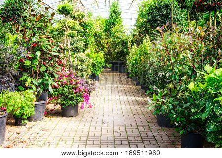 Green house with flowerpots of plants and blooming azalea. Old greenhouse interior in sunny day