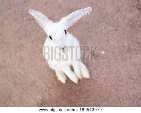 White cutie rabbit portrait looking front wise to viewer in farm. selective focus.
