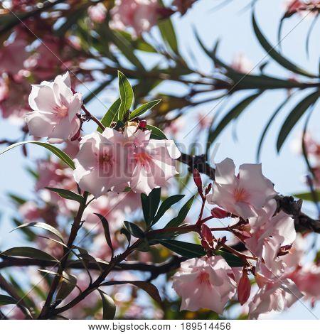Pink oleander flowers in the foliage Nerium oleander