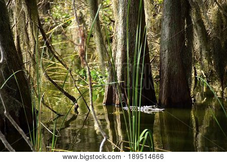 Alligator swimming in a swamp among the trees