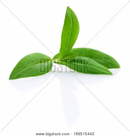 Macro shot of green leaves isolated on white.