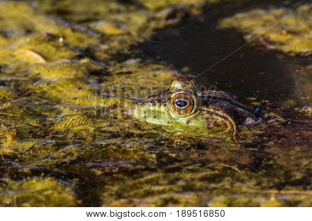 American Bullfrog hiding in the water with just it's head out of the water