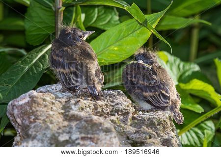 Eastern Phoebe bird chicks perched on a rock