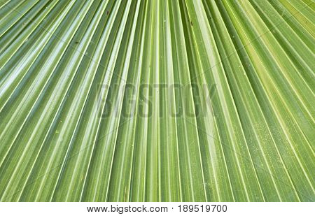 abstract diagonal lines of a palm leaf with selected focus to be used as a background