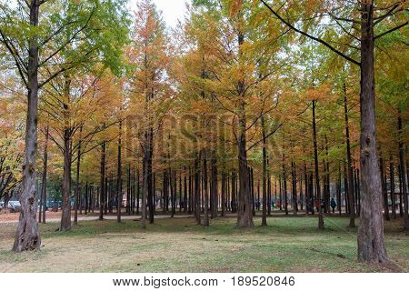 colorful trees path in the park of Nami island South Korea
