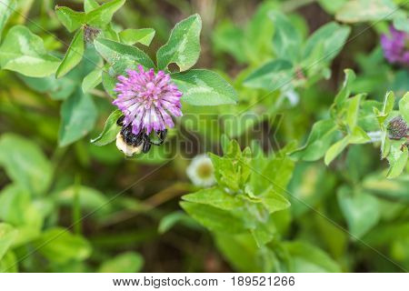 Bumble bee collecting pollen on a clover flower