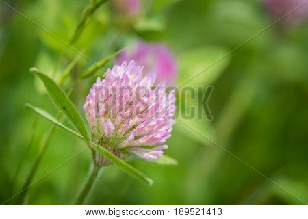 Clover flower head up close with green leaves blurred in background