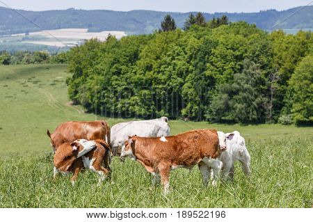 A herd of cows with calves and bulls grazing on the pasture. Nature fauna and flora.Wildlife.