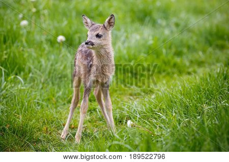 Young fawn standing in grass. Summer fauna and flora.Wildlife.