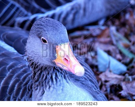 gray goose ,waterfowl, feathers, beak, nature, duck bird,
