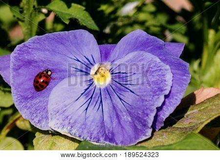 Harlequin Ladybird resting on a bright purple pansy flower head