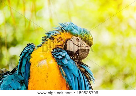 Blue-and-Yellow Macaw parrots  in the zoo thailand.